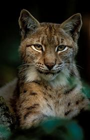 Lynx. © Vincent Munier.